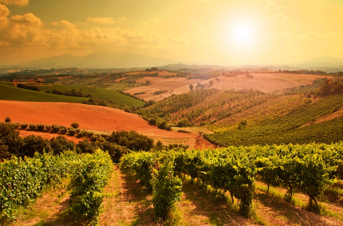 Vineyard in Tuscany. Wine festivals in Tuscany.