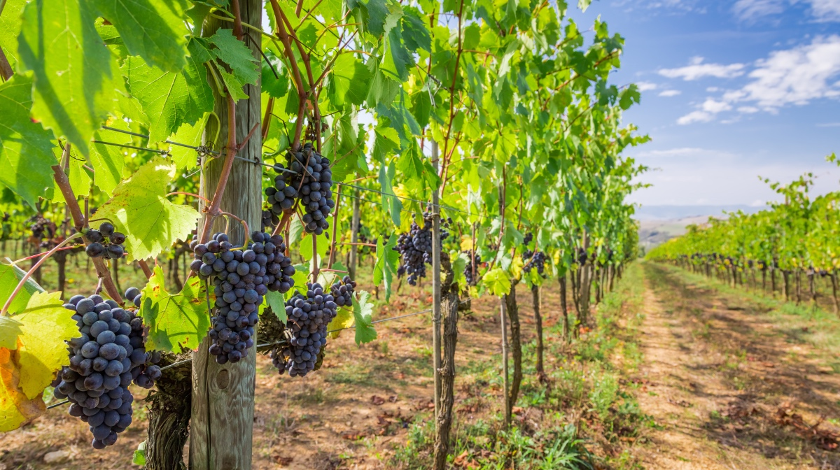 Grapes on a vineyard in Tuscany, Italy.
